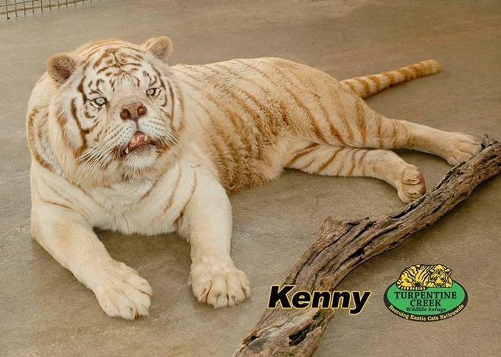 Kennyis een reden waarom je niet thuis met wittetijgergenen moet gaan klooien